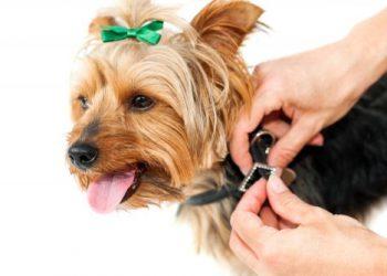 collier anti puces chien